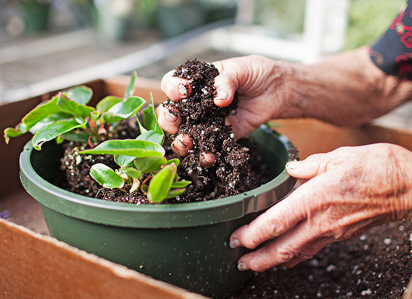 Adding fresh potting soil to a newly potted plant
