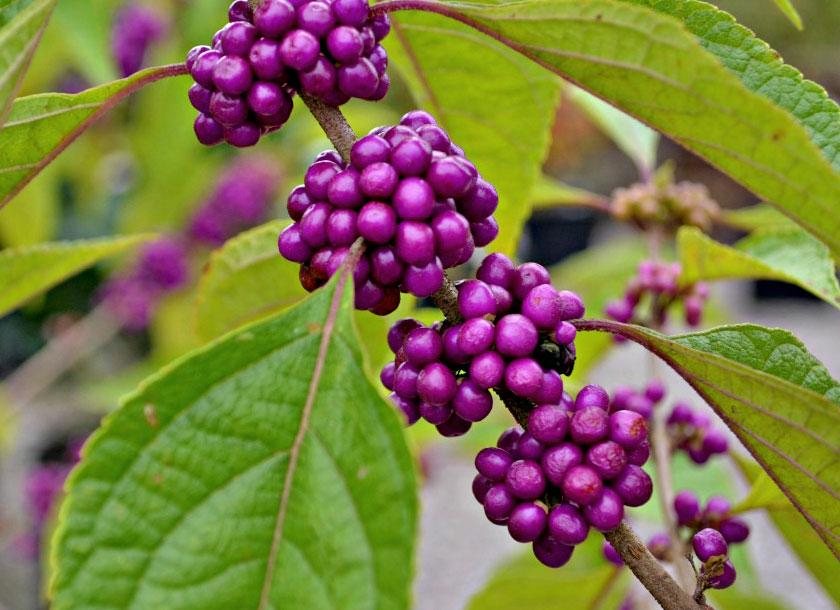 Beauty Berry shrub
